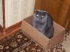 Серый кот в коробке.