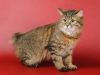 cats-pictures-org_-_577-1500x998-kurilianbobtail-solo-greeneyes-brownhair-redhair-standing