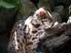 animals___leopard_cat_1_by_moonsongstock