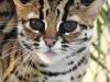 leopard_cat
