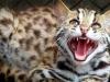 leopard_cat_5