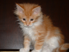 котенок мейн-кун ему 75 дней