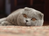 600px-adult_scottish_fold