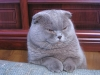 800px-lilac_scottish_fold
