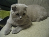 800px-scottish_fold