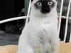 493px-siamese_cat_female