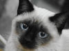 800px-siamese_cat_female_2