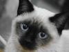 800px-siamese_cat_female_2