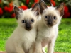 siamese-kittens-domestic-animals-2256707-1280-1024