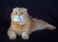 шотладская вислоухая кошка