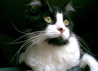 кошка-весы