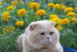 Порода кошек Шотландская прямоухая (Scottish Straight)