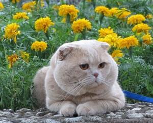 Порода кошек - Шотландская прямоухая (Scottish Straight)