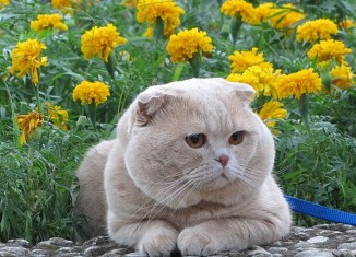 характер шотландской кошки