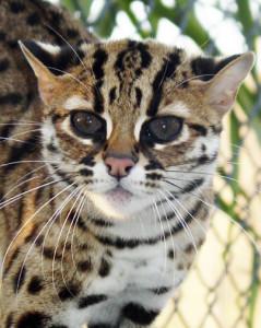 Маленькие леопарды - бенгальские кошки