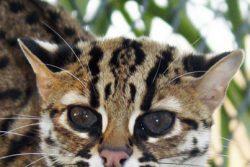 Маленькие леопарды — бенгальские кошки