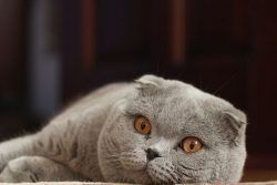Шотландский вислоухий кот: фото