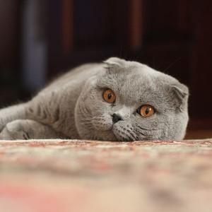 Шотландский вислоухий кот - фото