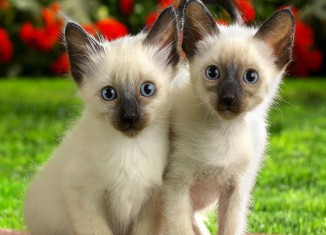 Siamese-Kittens-domestic-animals-2256707-1280-1024