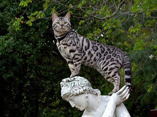 Ашера - гибридная и одна из самых дорогих пород кошек мира