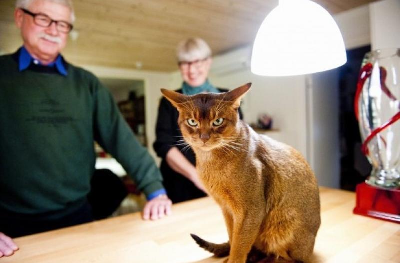 Негус, кот - победитель World Cat Show 2011. Самый красивый кот в мире