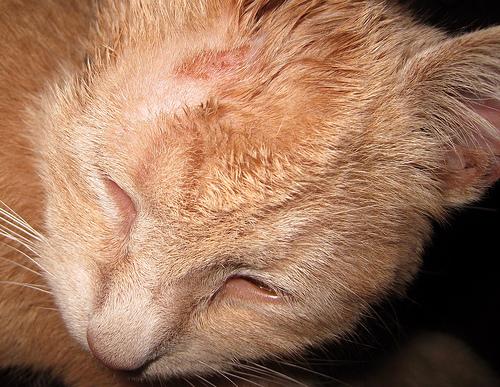 Описание: и стригущий лишай у кошек фото на сайте о природе и животных.  Лечение аллергии у детей, Ушиб почки.
