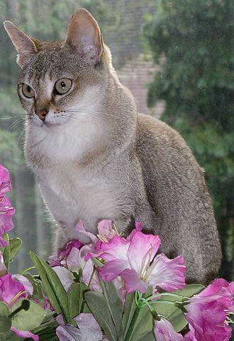 Сингапура - порода миниатюрных кошек