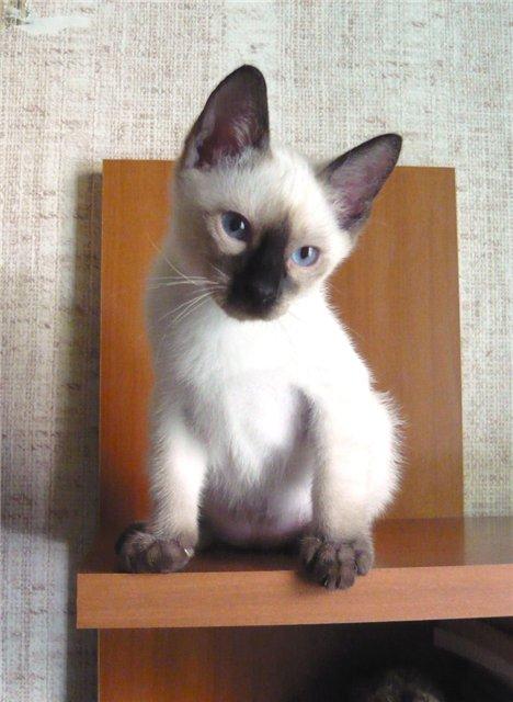Той-боб - карликовая порода кошек