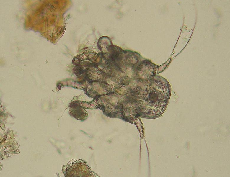 фото ушного клеща под микроскопом