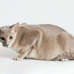 Сколько длится беременность у кошек?