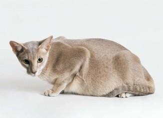 cat pregnant