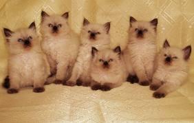 Порода кошек Невская маскарадная