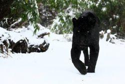 Черная кошка-призрак из Великобритании