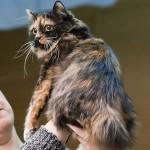 Кимрик — длинношерстная кошка с острова Мэн