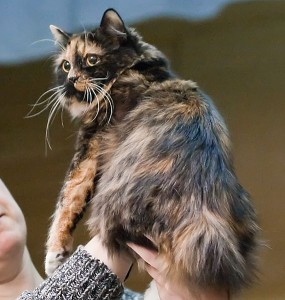 Кимрик - длинношерстная кошка с острова Мэн