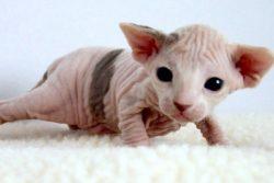 Канадский Сфинкс, или Лунная кошка