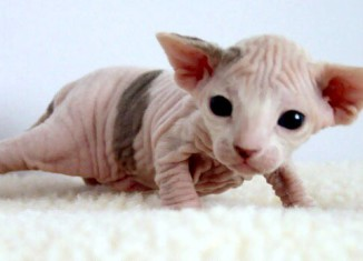 Двухнедельный котенок сфинкс