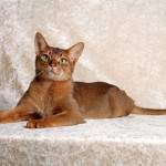 Абиссинская кошка – комнатная пума