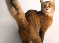 Сомалийская_кошка