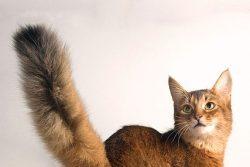 Сомалийская порода кошек – пушистое солнце в вашем доме
