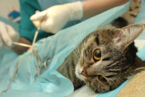 Как ухаживать за кошкой после стерилизации?