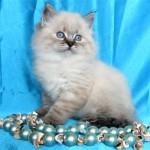 Характер невской маскарадной кошки