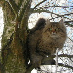 Характер сибирской кошки — широкая душа и теплая шубка