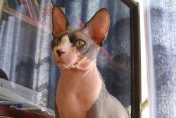 Характер кошки сфинкс