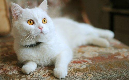 Белая кошка с оранжевыми глазами