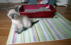 kitten-diahrreya