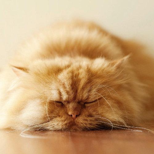 характер персидских кошек