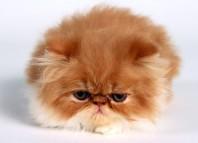 persian_cat
