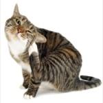 Лечение чесотки у кошек (демодекоз)