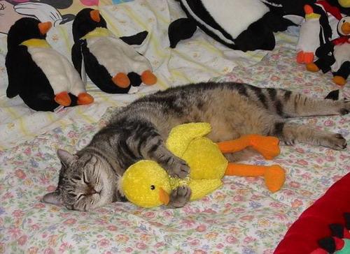 Сколько времени кошка спит в сутки